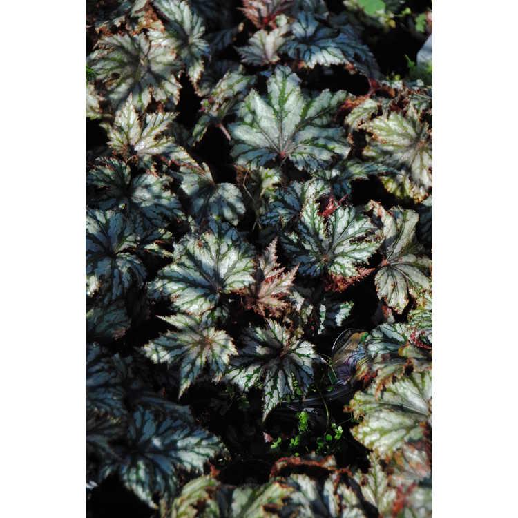 Begonia 'Garden Angel Blush'