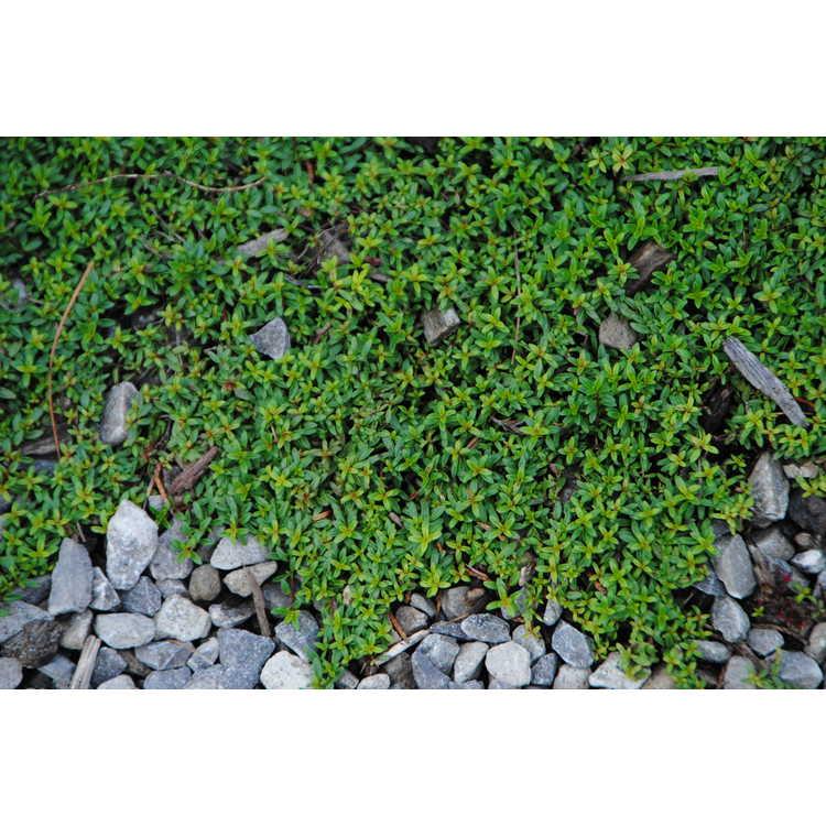 Thymus praecox 'Coccineus'