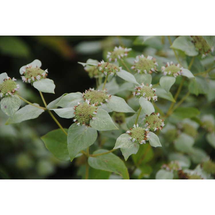 Pycnanthemum muticum - mountain mint
