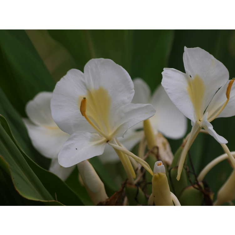 Hedychium 'Betty Hodge' - hardy ginger-lily