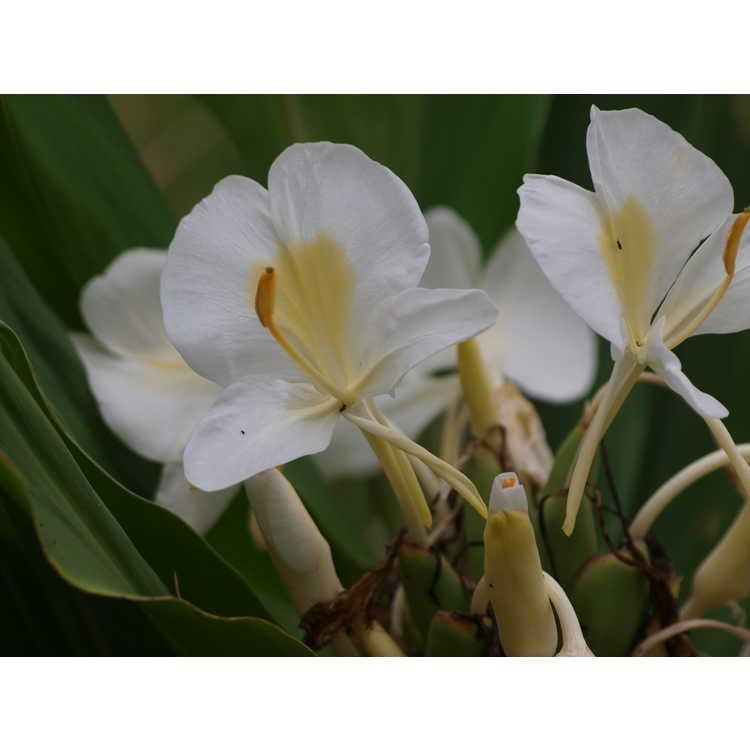 Hedychium 'Betty Hodge'