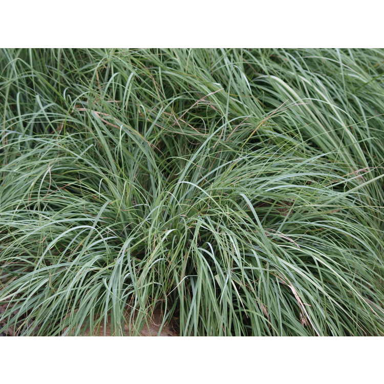 Carex flacca 'Blue Zinger'