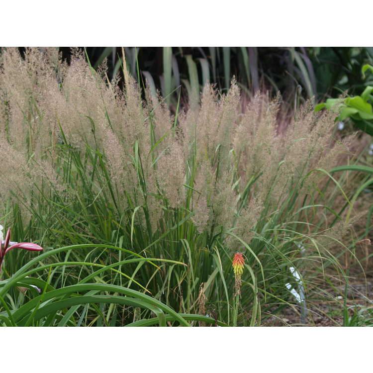 Calamagrostis brachytricha - Korean feather reed grass