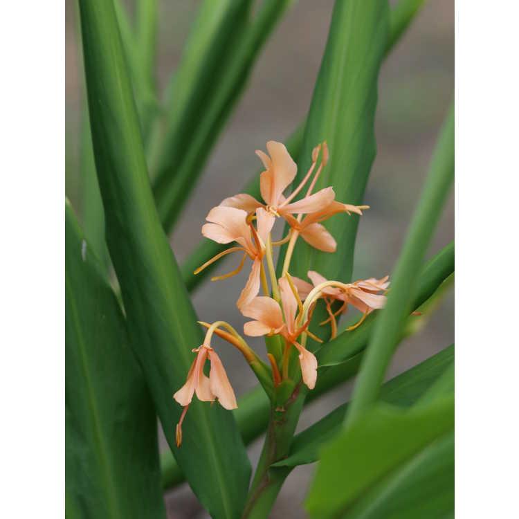 Hedychium 'Golden Glow'