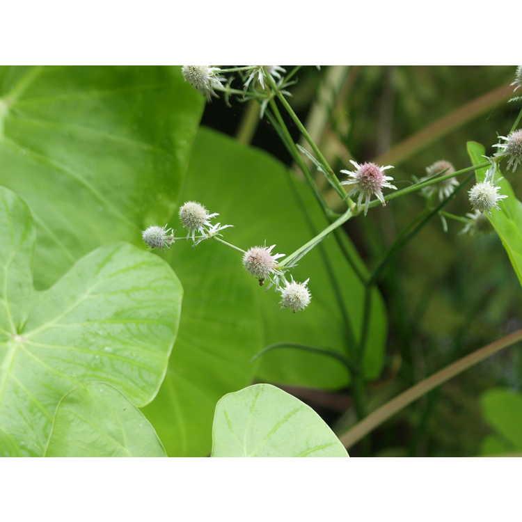 Eryngium aquaticum var. ravenellii