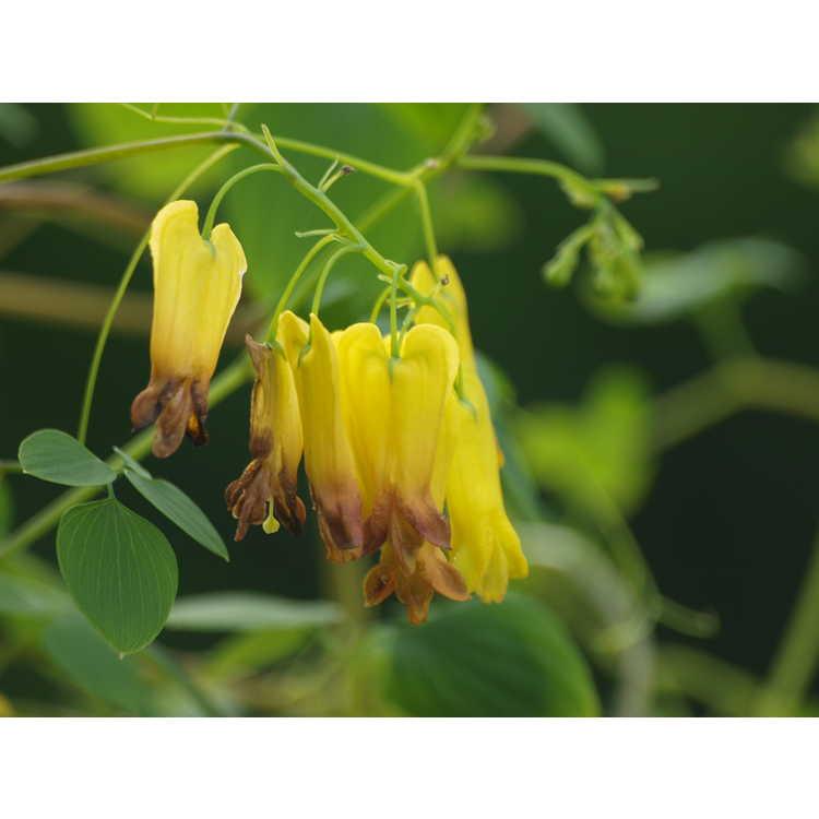 Dactylicapnos macrocapnos - yellow bleeding heart vine