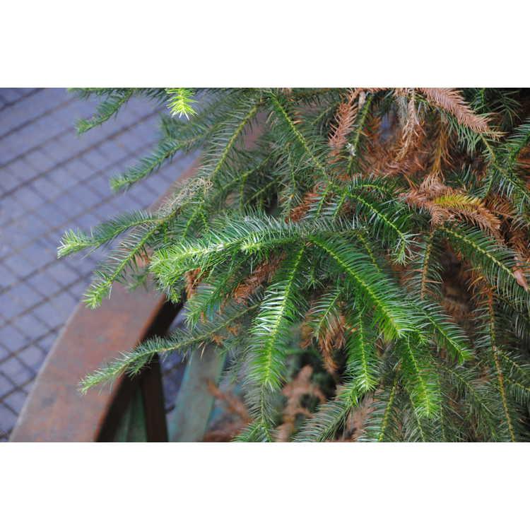 Cunninghamia lanceolata var. konishii