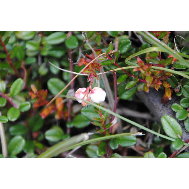 Gaultheria itoana - wintergreen