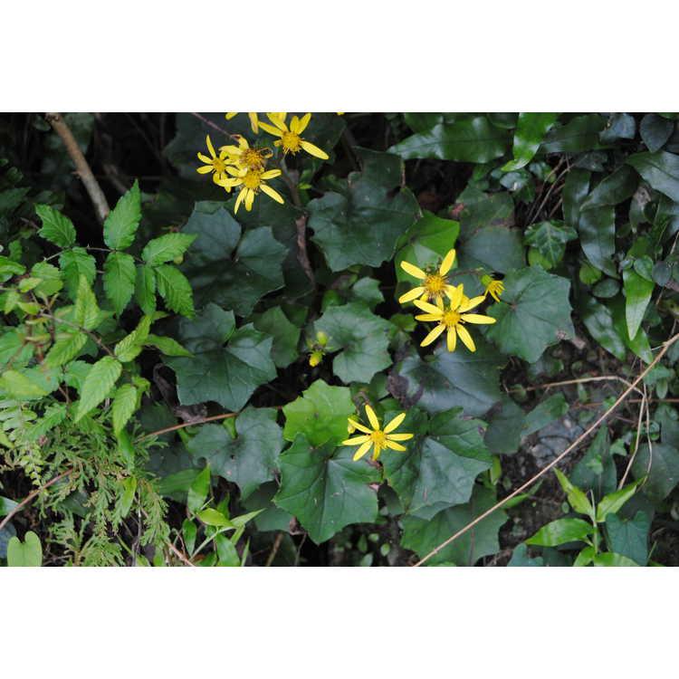 Farfugium japonicum var. formosanum