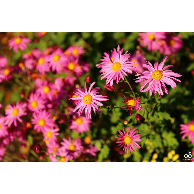 Chrysanthemum 'Miss Gloria's Thanksgiving Day' - garden chrysanthemum