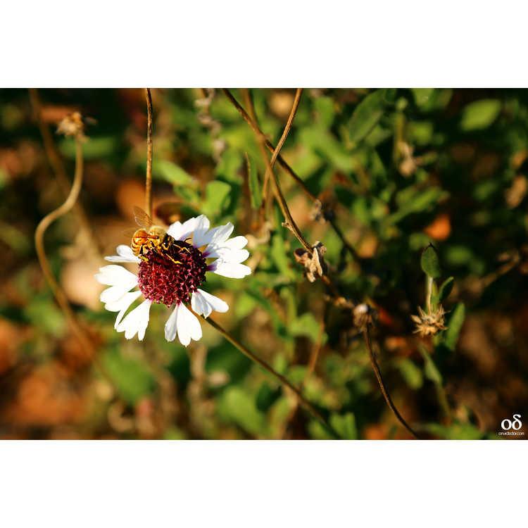 Gaillardia aestivalis var. winkleri - Texas firewheel
