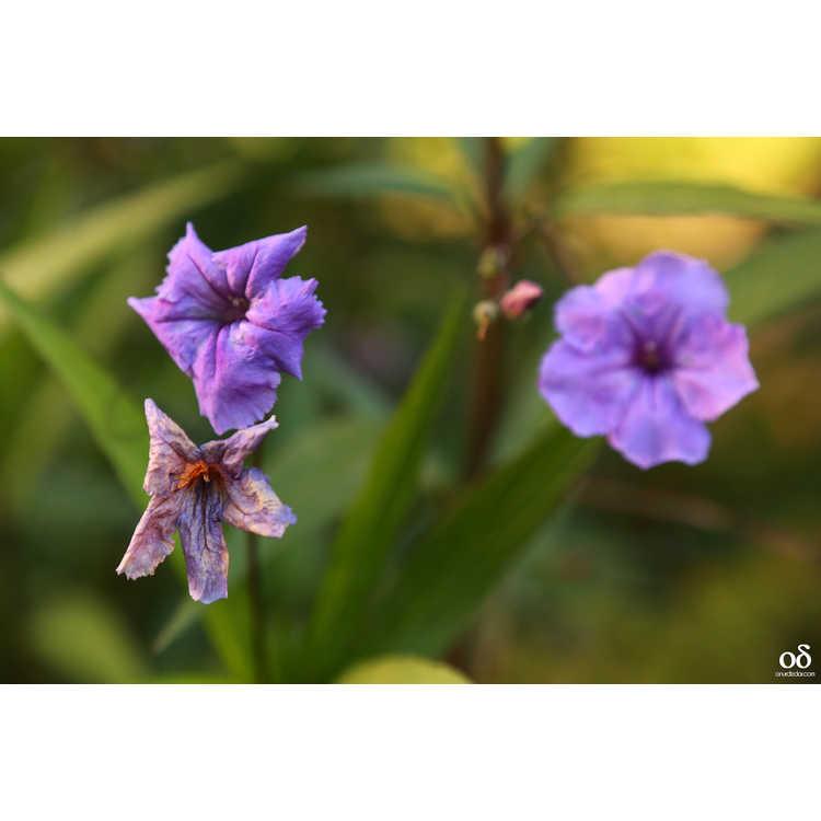 Ruellia simplex - Mexican blue-bells