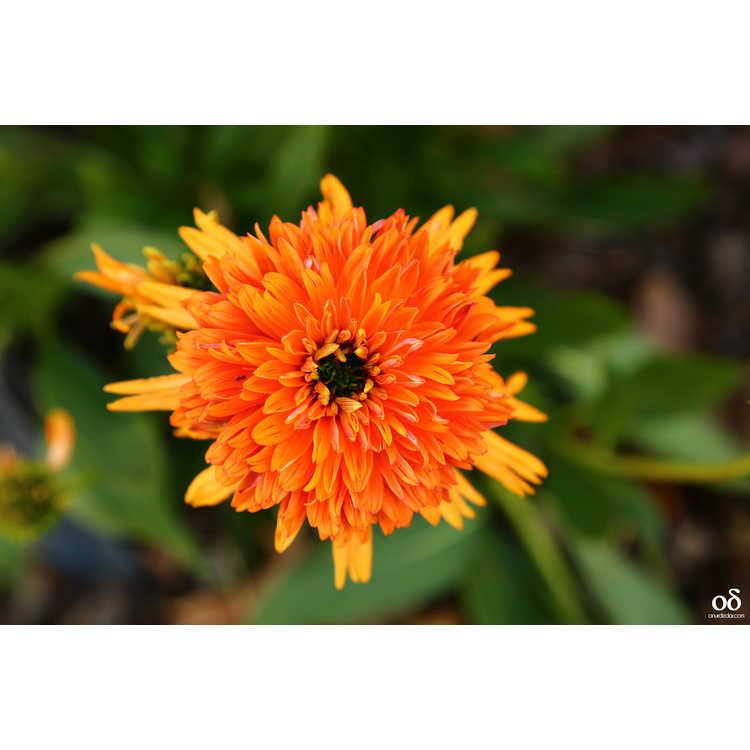 Echinacea 'Secret Glow'