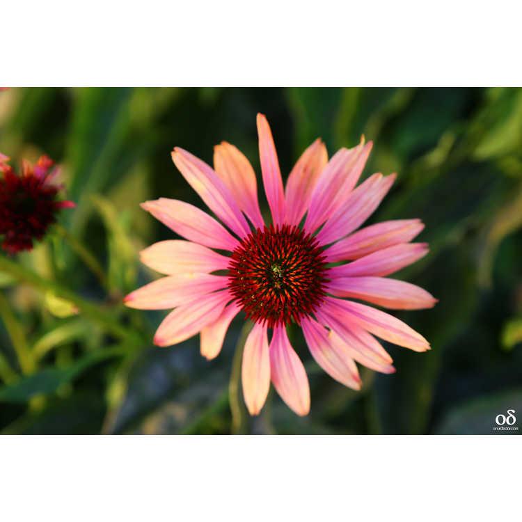 Echinacea 'Katie Saul' - Summer Sky Big Sky™ coneflower