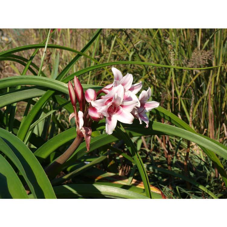 Crinum ×herbertii 'Schreck' - hybrid crinum-lily