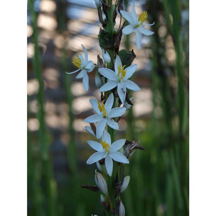 Chlorophytum cf. bowkeri - African snake lily