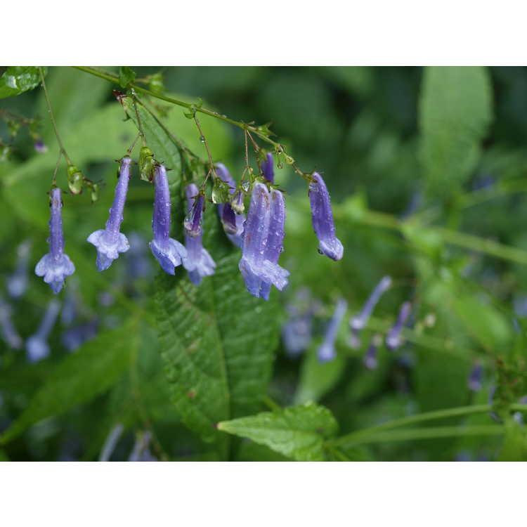 Rabdosia longituba - long-tubed spurflower