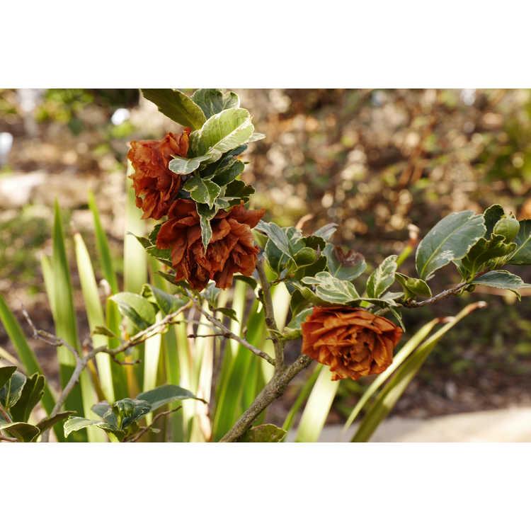 Camellia japonica 'Fuiri Benten'