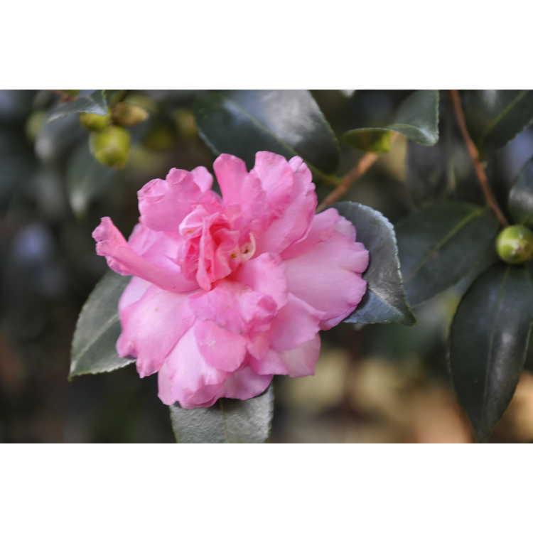 Camellia hiemalis Rose of Autumn