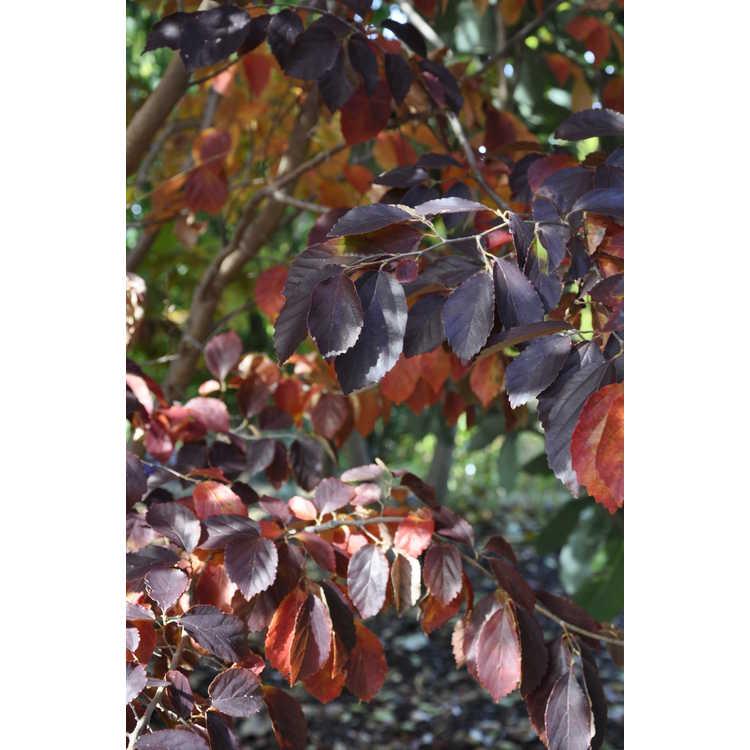 Parrotia subaequalis - Chinese ironwood
