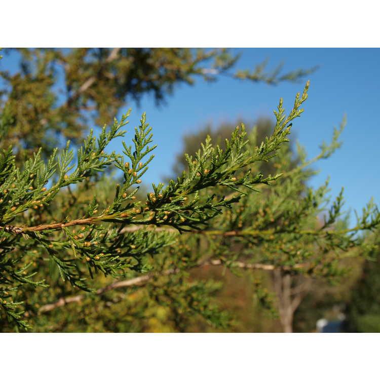 Juniperus seravschanica - eastern juniper