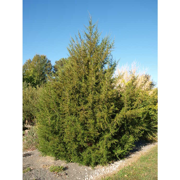 Juniperus seravschanica