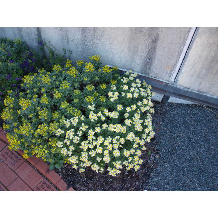 Ajania × Chrysanthemum
