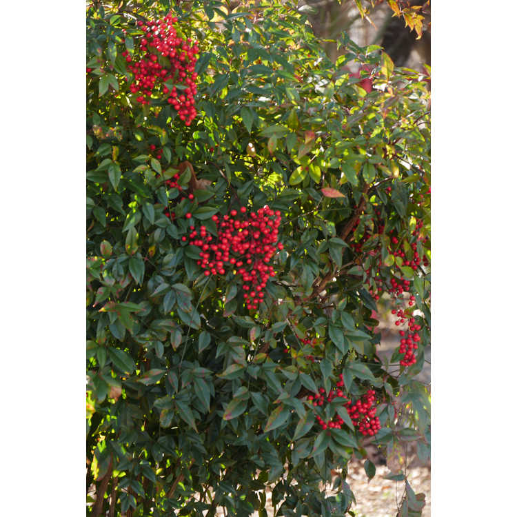 Nandina domestica 'Umpqua Warrior'