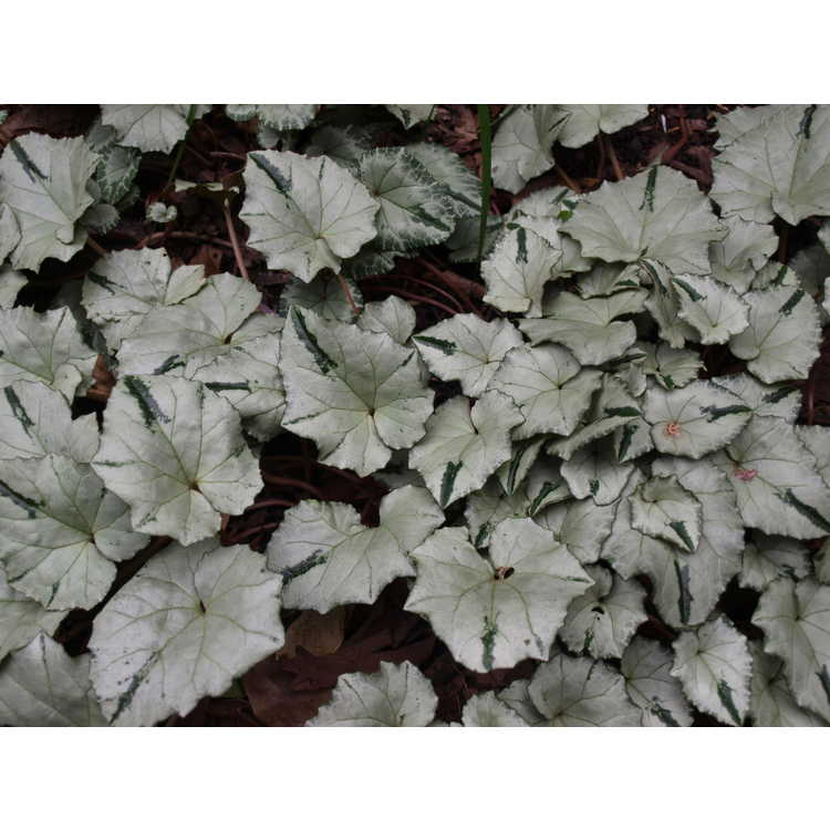Cyclamen hederifolium Ashwood Nurseries Silver Leaf Group - hardy cyclamen
