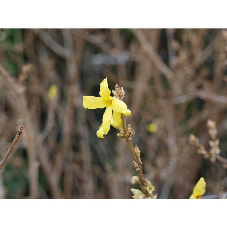 Forsythia intermedia White Gold