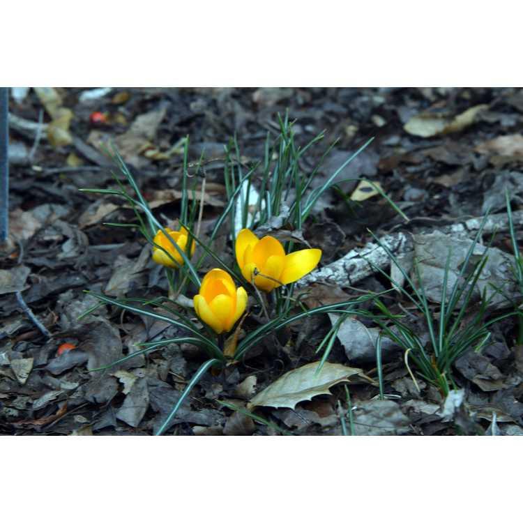 Crocus flavus 'Golden Yellow'