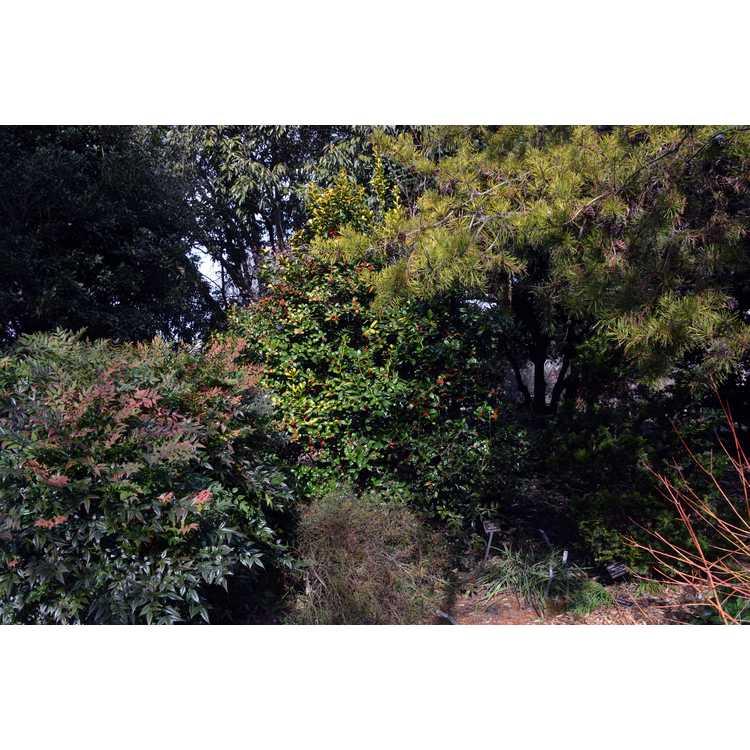Ilex cornuta 'Sunrise' - golden Chinese holly