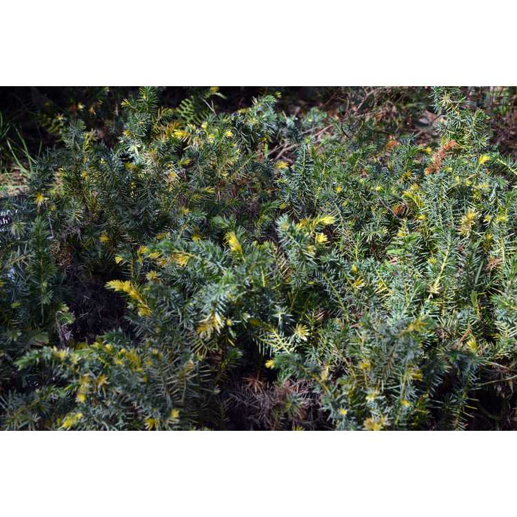 Juniperus conferta 'Sunsplash' - gold-variegated shore juniper