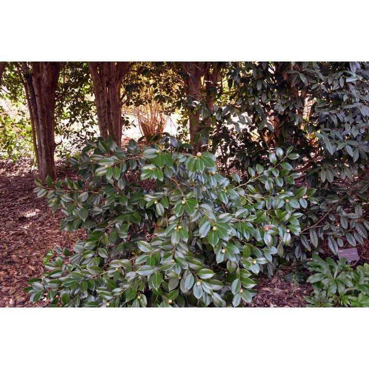 Camellia japonica 'April Tryst' - Japanese camellia