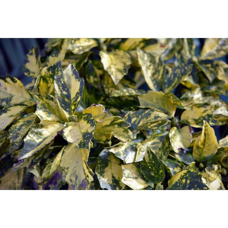 Aucuba japonica 'Suruga Benten'
