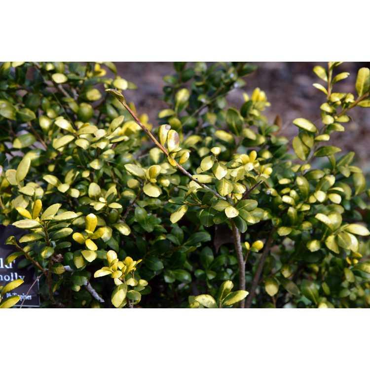 Ilex crenata 'Drops of Gold' - golden Japanese holly
