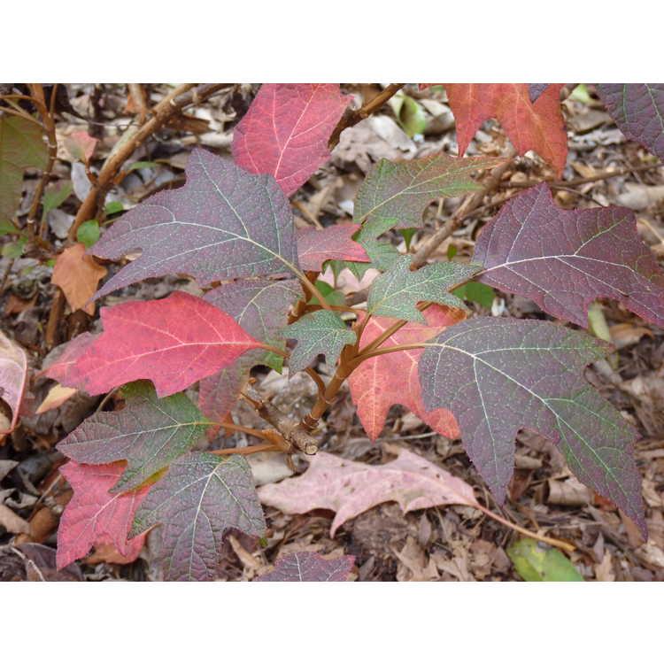 Hydrangea quercifolia 'Turkey Heaven' - oakleaf hydrangea