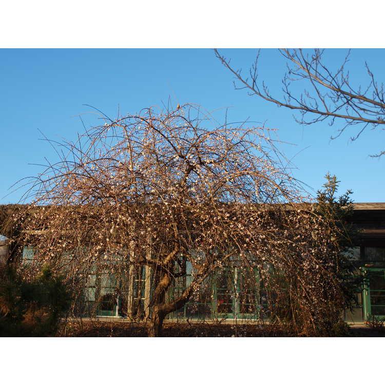 Prunus mume Bridal Veil