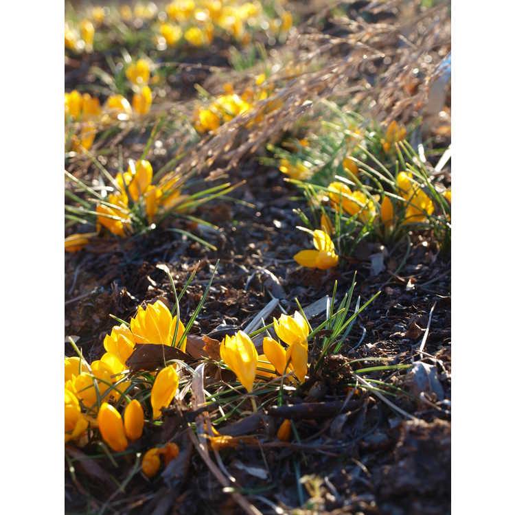 Crocus ancyrensis 'Golden Bunch'