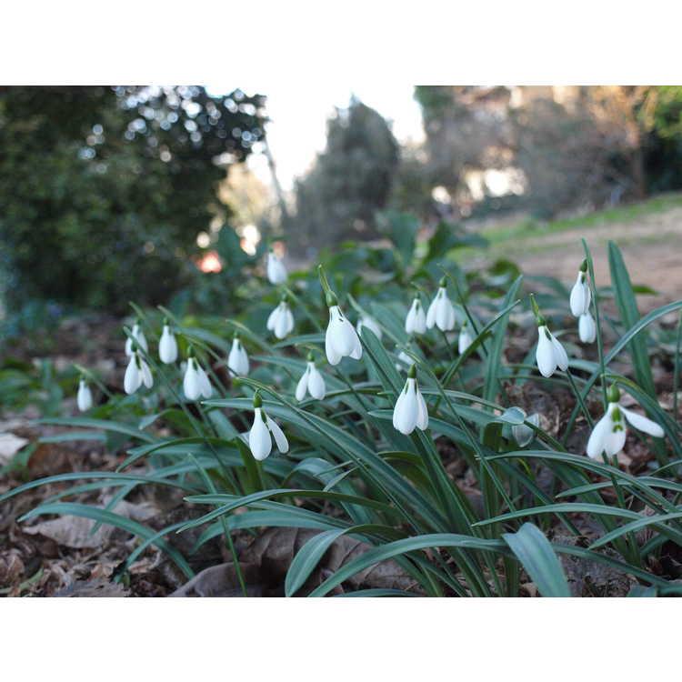 Galanthus plicatus subsp. byzantinus - Turkish snowdrop