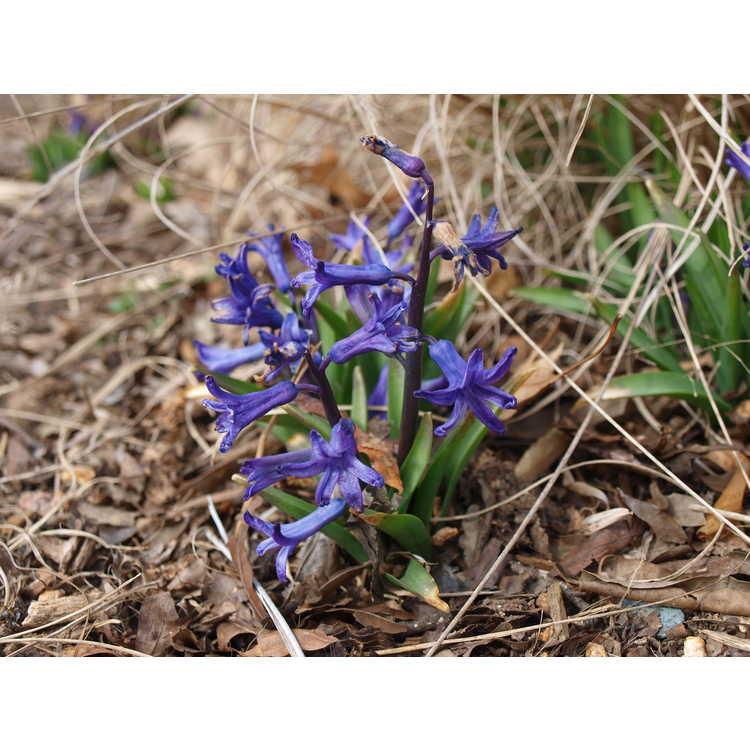 Hyacinthus 'Anastacia'