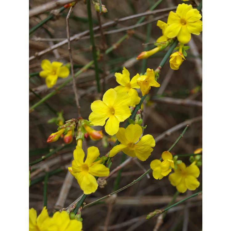 Jasminum nudiflorum 'Variegatum'