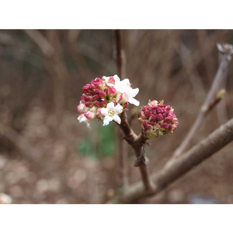 Viburnum grandiflorum - winter viburnum