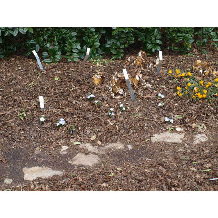 Crocus chrysanthus 'Blue Bird' - spring crocus