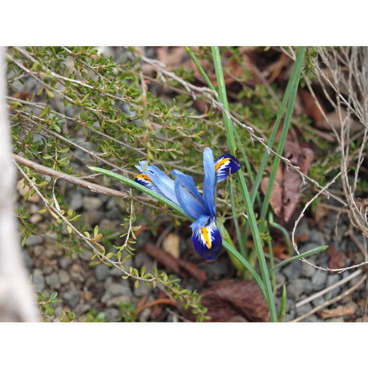 Iris [Reticulata Group] 'Gordon' - netted iris