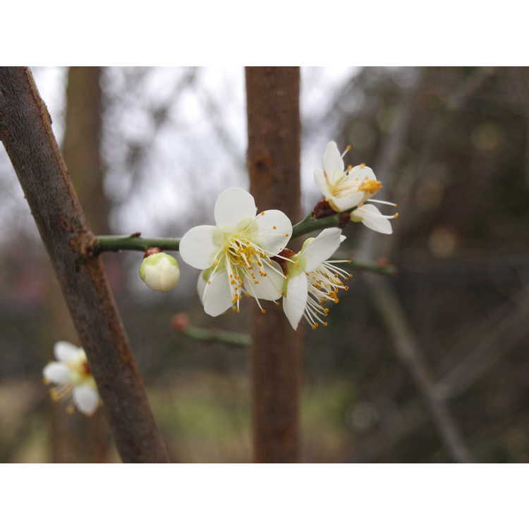 Prunus mume 'Tama' - Japanese flowering apricot