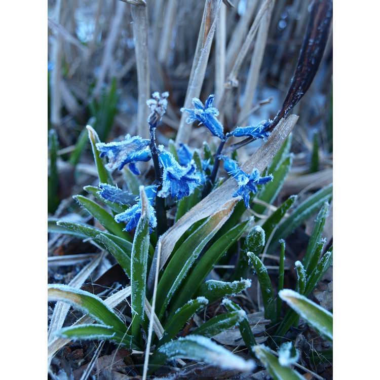 Hyacinthus Anastacia