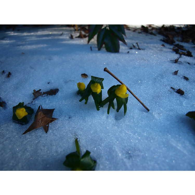 Eranthis hyemalis - winter aconite