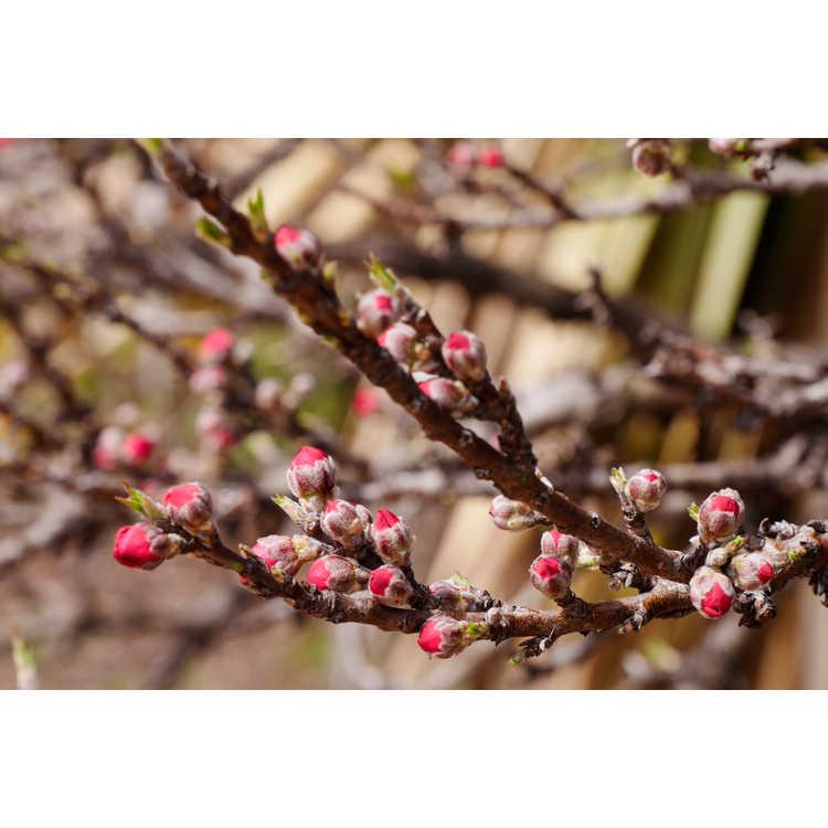 Prunus Persica Dwarf Peach Tree Prunus Persica 39 Ncsu Dwarf