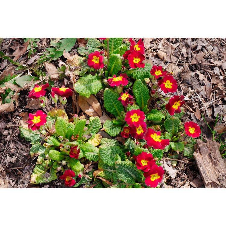Primula (red shades)